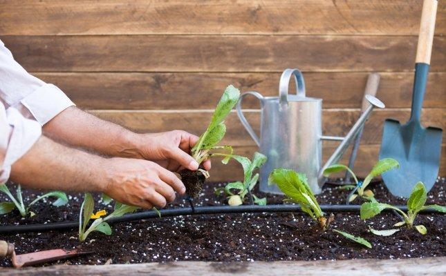 Plantar carxofes