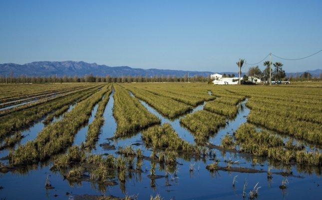 Camp d'arròs del delta de l'Ebre