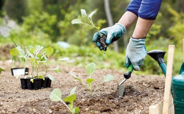 Plantar bròquil