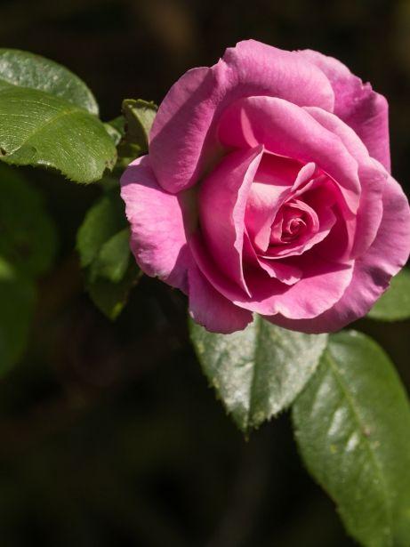 Rosa / Thinkstock