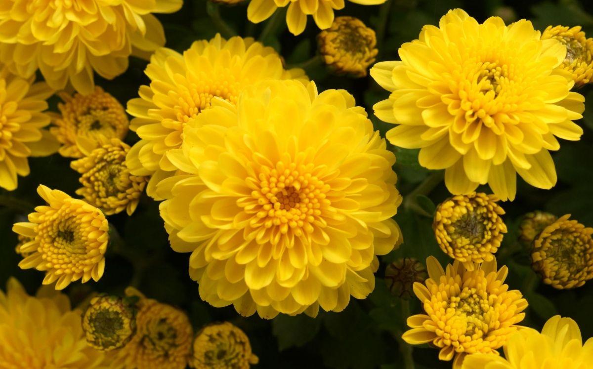 Crisantem / Thinkstock