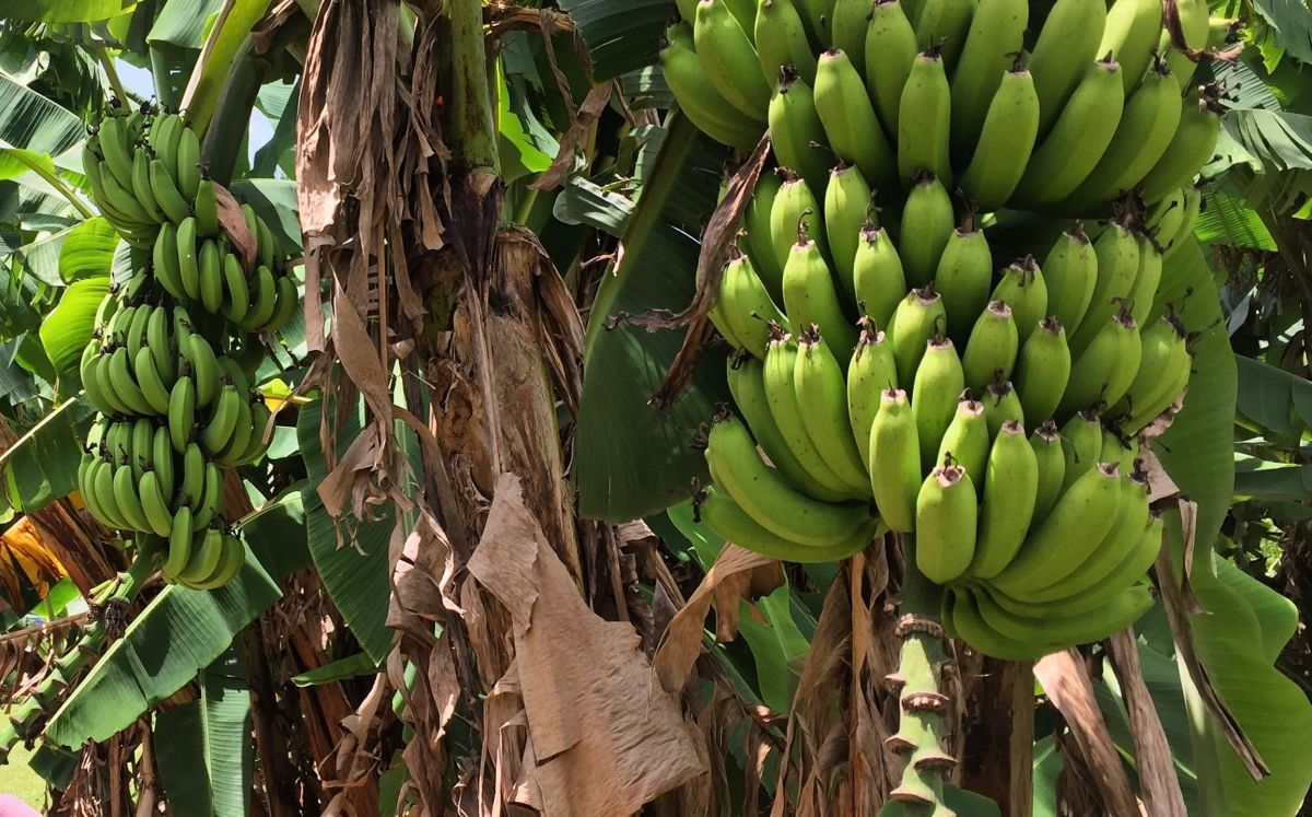 Conreu de bananes